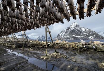 Stockfish hanging in the winter in Reine, Lofoten Islands, Norway.